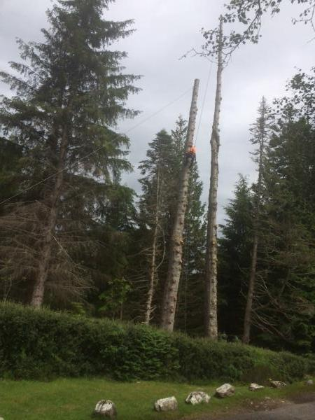Noble fir and Douglas fir 100ft plus, dismantled due to initial stage of uprooting in high winds