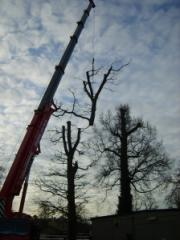 My first climb on a crane job. Dead Oak.
