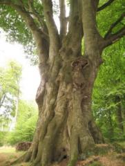 Very large Beech - Longleat