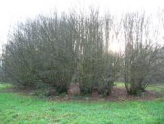 Anchient Lime coppice at Westonbirt