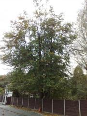 Beech reduction after