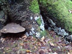 Ganoderma applanatum & Kretzmaria duesta on dysfunctional Beech butress roots