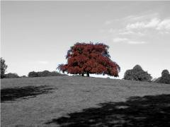 Copper beech - Hampstead '09