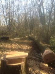 over sized chestnut clearing