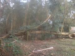 fallen eucalyptus, roots heaved straight out of the ground