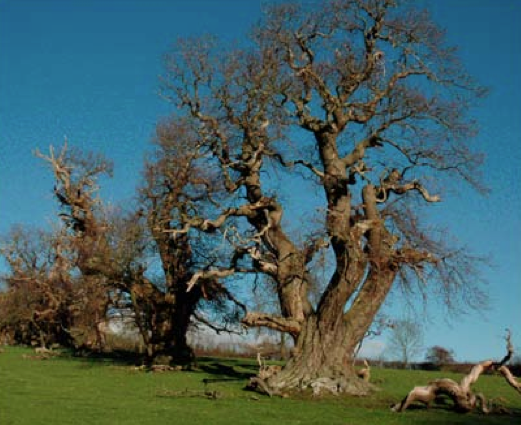 Avenue of ancient sweet chestnut castanea sativa trees at Croft Castle, Herefordshire, England