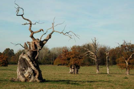 Ancient English oaks Quercus robur in wood pasture parkland landscape of Windsor great Park, Berkshire, England