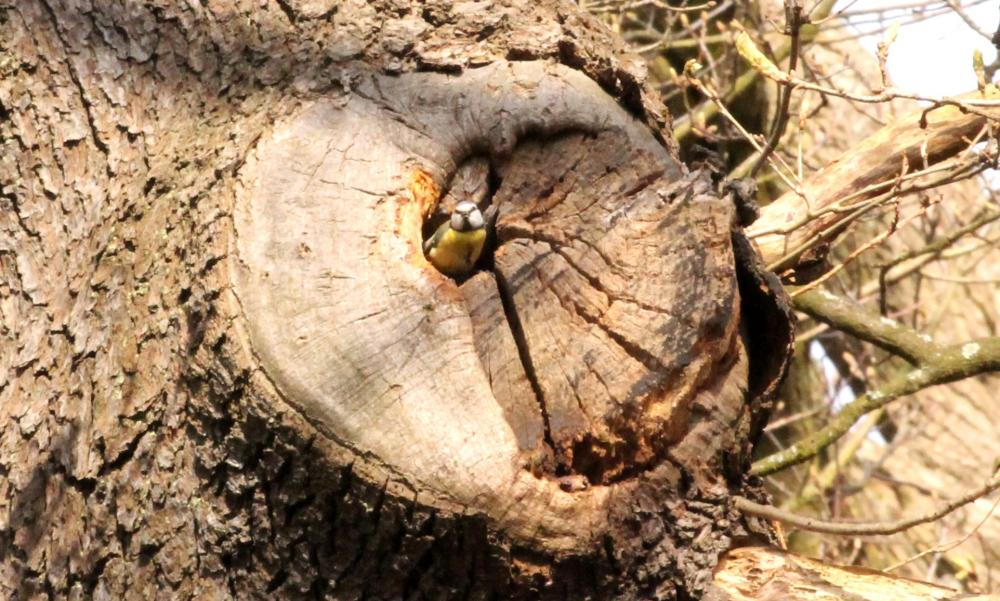 Blue tit in Oak wound cavity.JPG