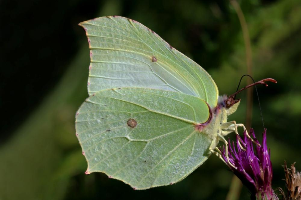 Common_brimstone_butterfly_(Gonepteryx_rhamni)_male.jpg