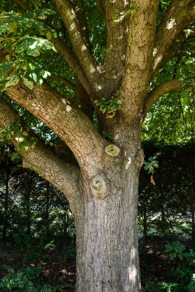 Confirmation Of Horse Chestnut Canker Please Tree Health Care Arbtalk The Social Network For Arborists