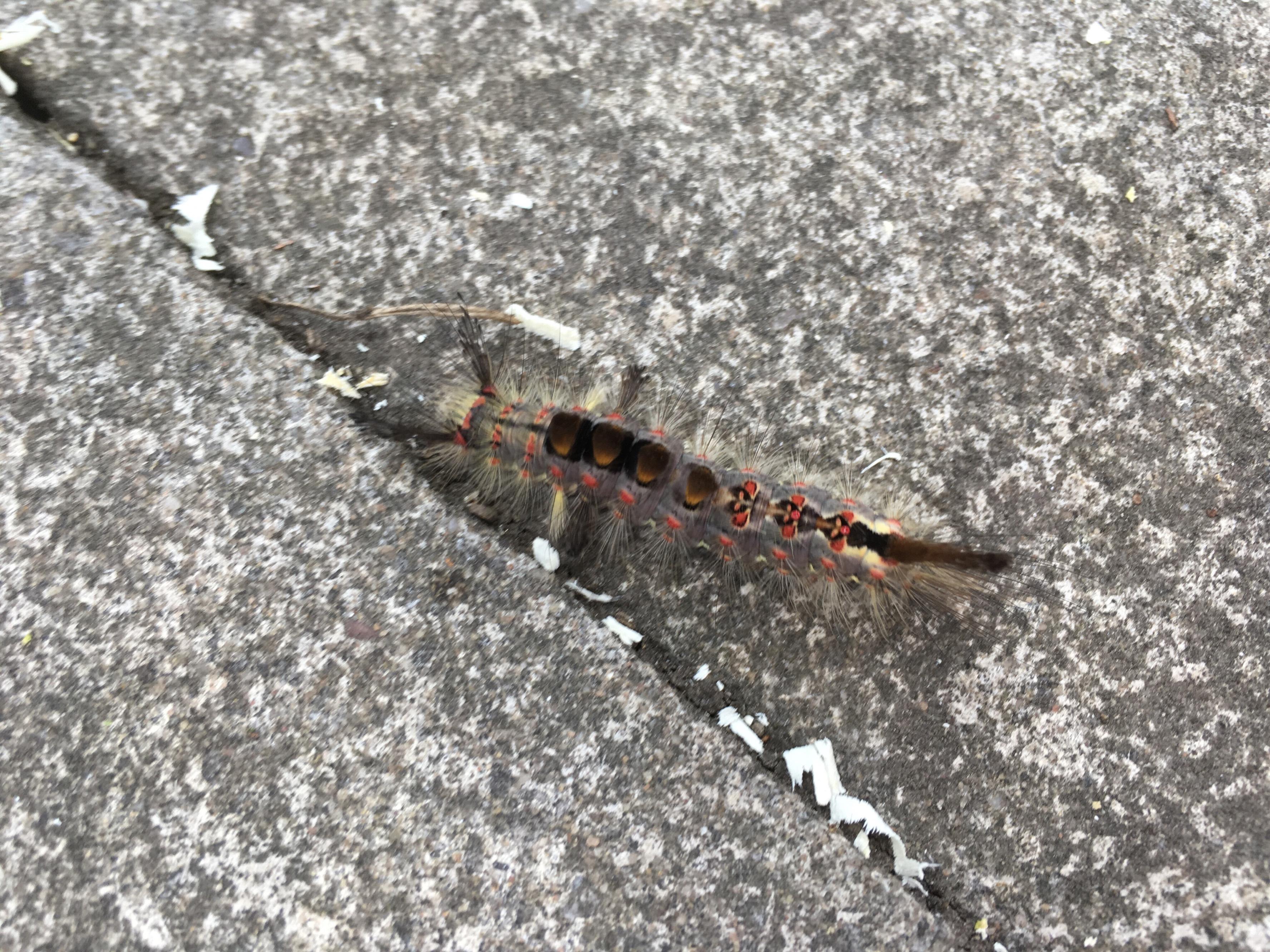 Furry caterpillar - Tree health care - Arbtalk | The Social Network