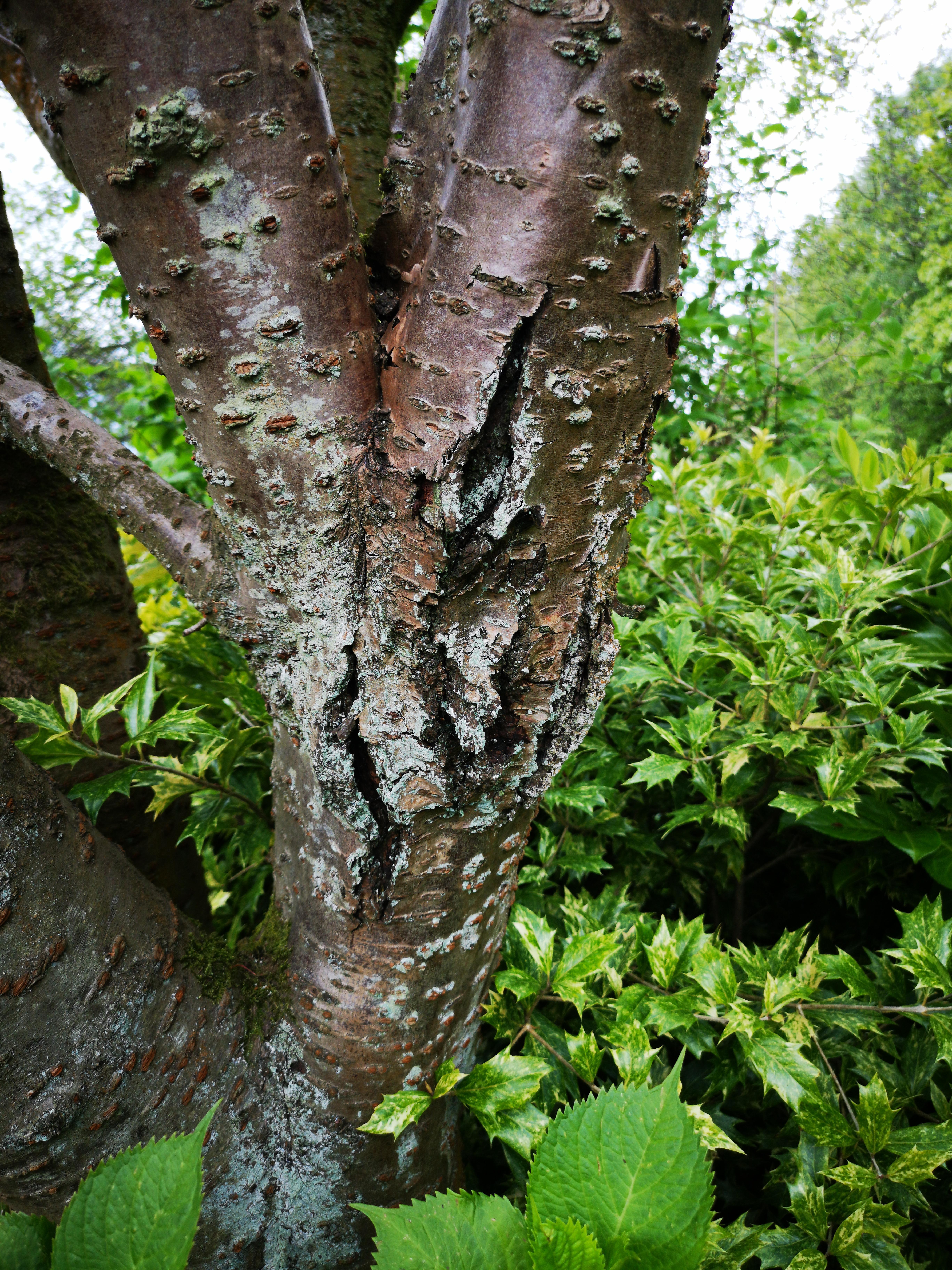 Cherry Tree Bark Split Very Little Blossom Fungi Pictures Arbtalk The Social Network For Arborists
